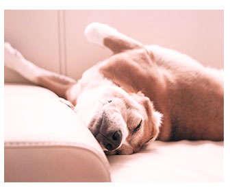 ataque epileptico perro durmiendo