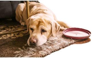 ataques epilepticos en perros sintomas