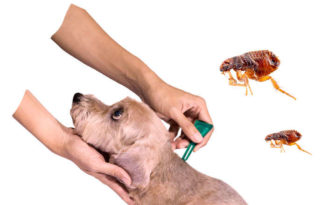 como eliminar las pulgas en los perros