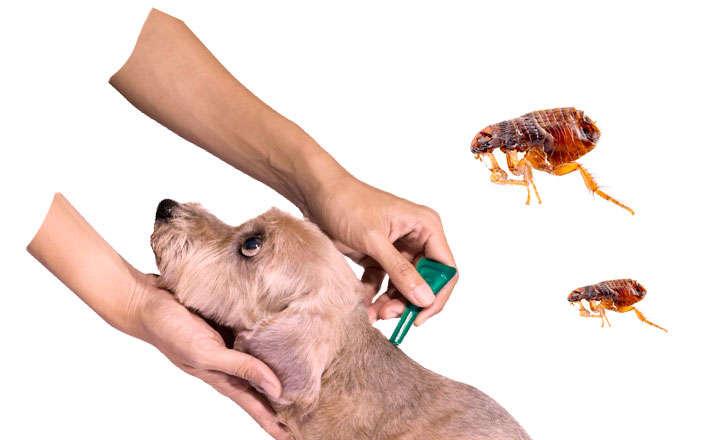 Quitar pulgas de casa perfect como acabar con las pulgas - Acabar con las pulgas en casa ...