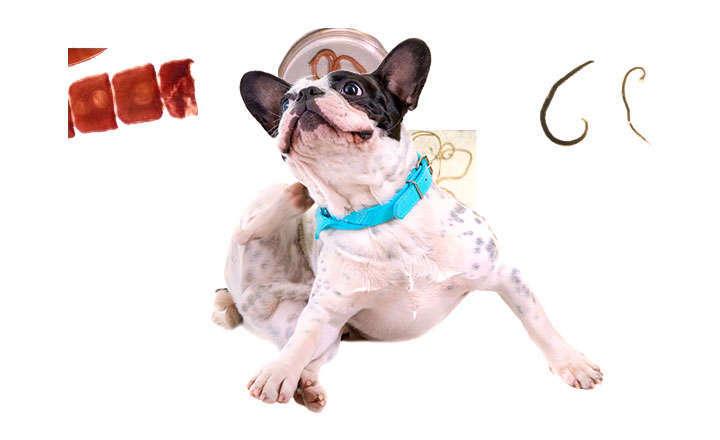 tratamiento gusanos planos perros