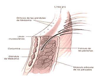 estructura de los parpados y glandulas del ojo