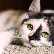 inmunodeficiencia felina, síntomas y causas