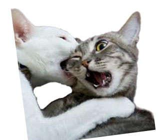Cómo se produce el contagio de la inmunodeficiencia en gatos