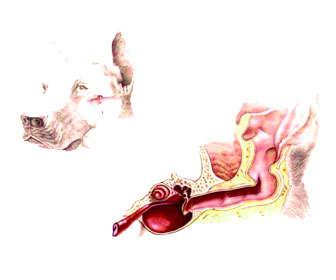 otitis canina causas