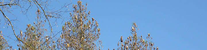 pinar con plaga de orugas