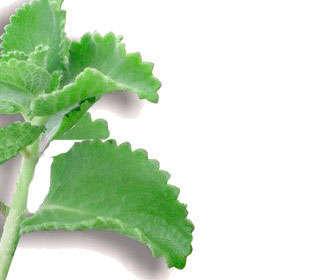 Tratamiento natural de mastopatía fibroquística con plantas