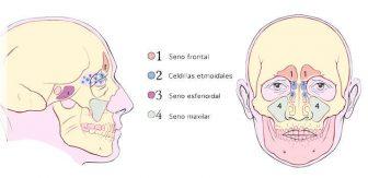 senos paranasales maxilar frontal etmoidal