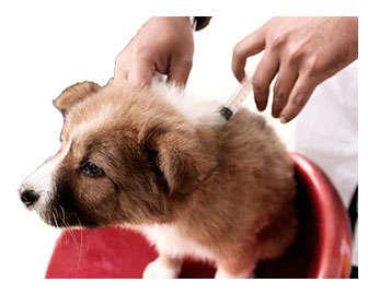 vacunas a perros cachorros